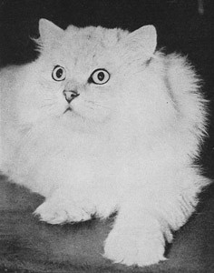 CH Starlight Heart Bandit II, Chinchilla Persian, born 1933, USA