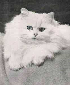 CH Bonavia Flora, Chinchilla Persian, born 1953, UK