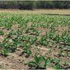 Kim Cuba Tobacco Plantation 1 March 2017