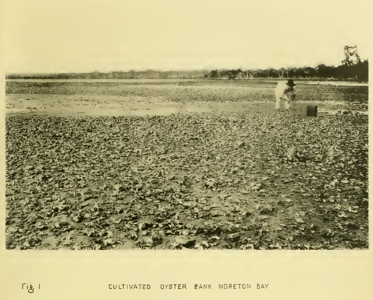 Cultivated Oyster Bank Bribie Passage