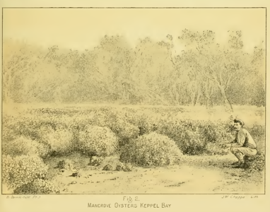 Oysters in amongst the mangroves