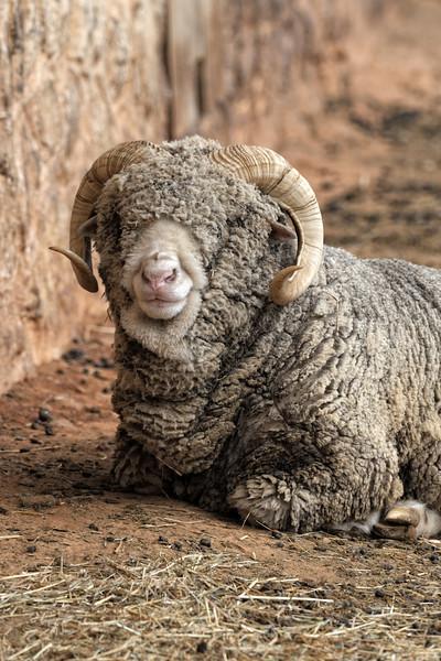 Smiling Ram