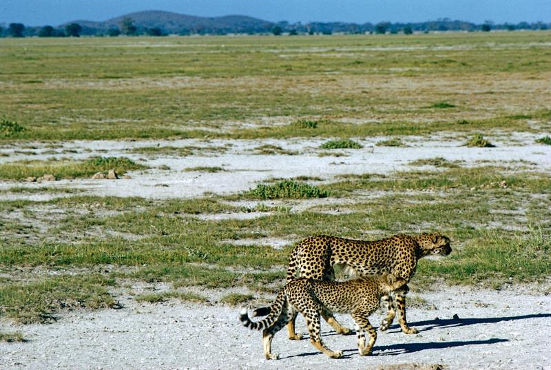 Gepard mor og ungdom