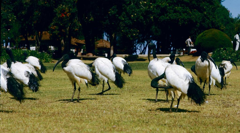 Afrika_stork