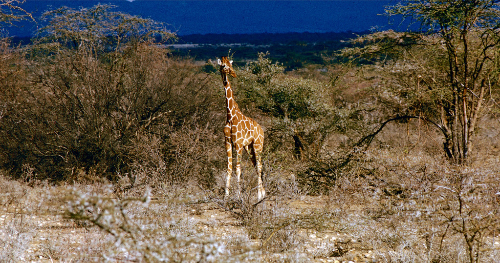 Ung giraff