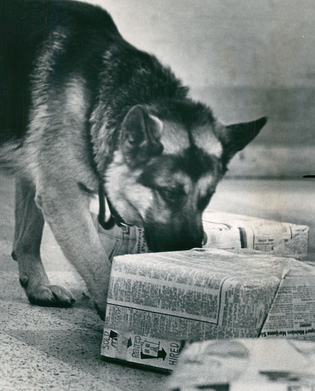 . FEB 1971: Duke Sniffs  Out Some Marijuana From Among Gaggle Of Training Packages, Feb. 1971. The German Shepherd found marijuna in a chair, hidden underneath the cushion. (Dave Buresh/ The Denver Post)