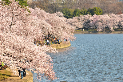 Cherry blossoms along the Tidal Basin, Washington DC