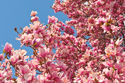 Magnolia tree, Washington DC near the White House
