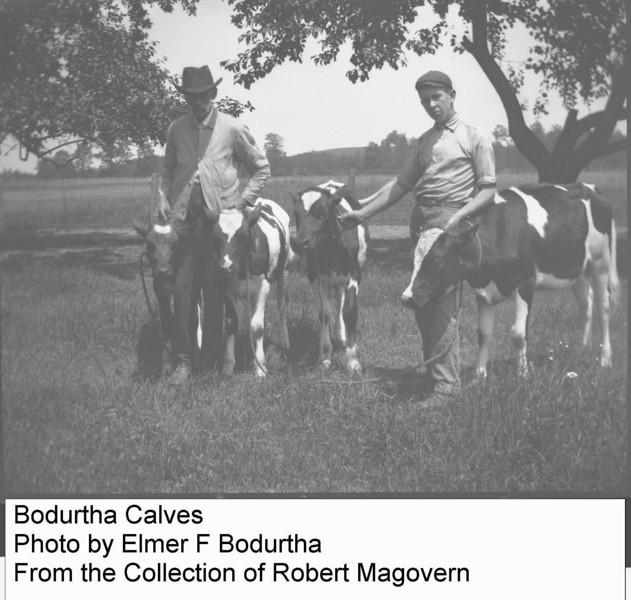 Bodurtha calves