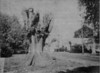 Agawam Fallen Giant Elm Removed 1963