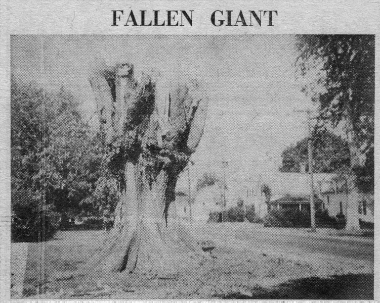 Agawam Elm tree on Elm St