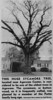 Agawam May be Oldest Tree