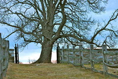 March 1, 2013. My favorite tree at Antietam Battlefield at dusk. The sky was a really pretty blue which turned pink at the horizon.