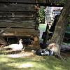 Muscovy ducks are still able to fly to get away from predators.<br /> They are an old breed of duck.