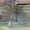 The peacock is displaying is feathers and dancing and hissing!<br /> I didn't know they hissed!