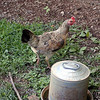 Chook waterer