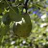 Pear hanging outside in the yard of the Mark Twain Cabin.<br /> I recently learned that the genetically modified Bradford Pear trees--while sterile.. are pollinating our regular pear trees and interfering with the fruit production. Not good! We won't be planting anymore of those.