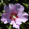 The Rose of Sharon is an old variety of ornamental shrub.<br /> I can remember my grandmother teaching me to make dolls with the flowers! The opened bloom is the ladies skirt and the unopened buds were her head. I'd put twigs on their to make her arms.