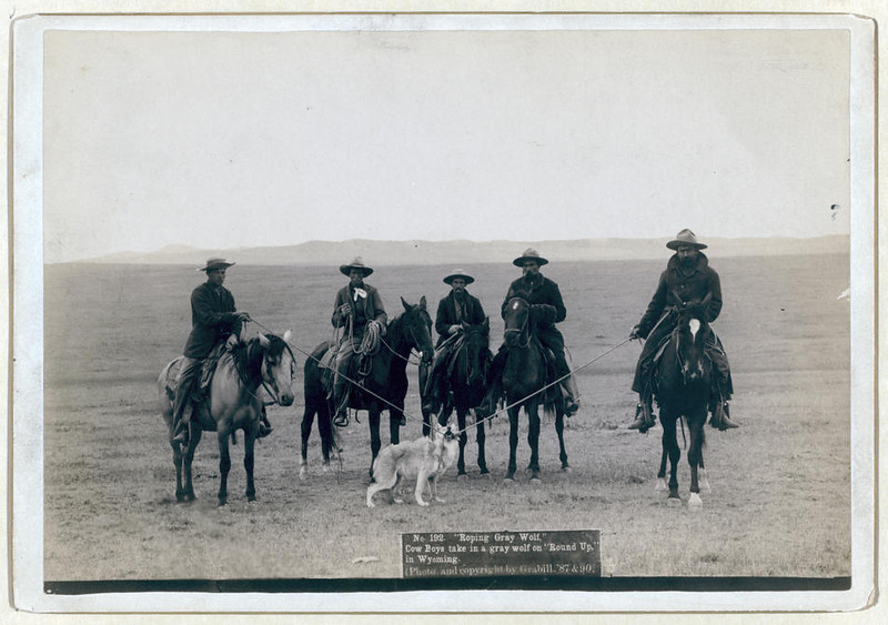 "Title: ""Roping gray wolf,"" Cowboys take in a gray wolf on ""Round up,"" in Wyoming<br /> Five cowboys on horses roping a wolf. 1887.<br /> Repository: Library of Congress Prints and Photographs Division Washington, D.C. 20540"