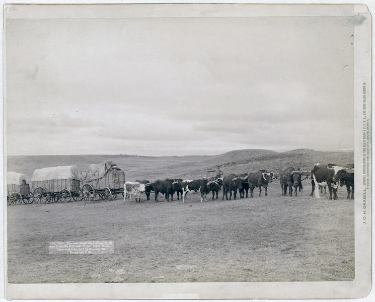Title: The last large bull train on its way from the railroad to the Black Hills<br /> Summary: Train of oxen and three wagons in open field. 1890.<br /> Repository: Library of Congress Prints and Photographs Division Washington, D.C. 20540