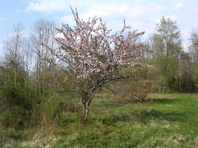 A bird dropped a seed in the middle of what was once a field, and this lovely apple tree sprang up.