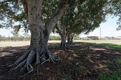 Moreton Bay Fig trees providing deep cool shade on a hot day in March, as they have done for 100 plus years.