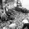 Frankie Boy,Frank Icano,Seperating Bonita Out to Unload wet fish,San Pedro,California Seining,