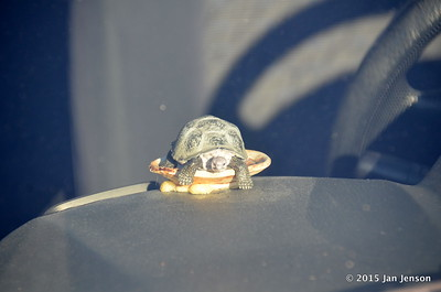 Turtle on dash of Liz Anderson's car