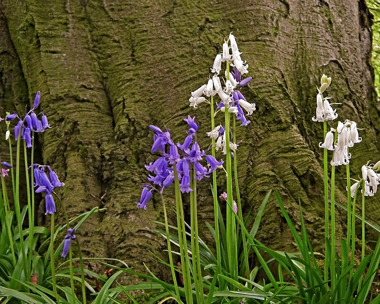 Bluebells and whitebells St. James the Great church Wrightington in Hesketh, Lancashire
