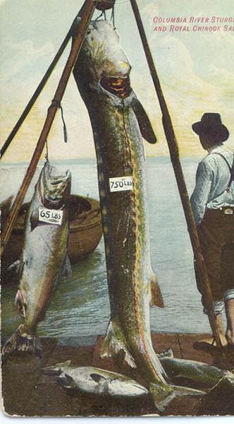 1908_750lb_Sturgeon