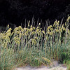 Sea Oats on Cumberland Island, Georgia