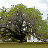 Plum Orchard Mansion on Cumberland Island, Georgia along the Brickhill River 04-05-09 The Oak Tree