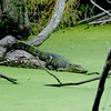 Alligator in pond at Plum Orchard on Cumberland Island, Georgia along the Brickhill River 04-05-09