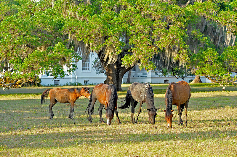 Horses at Plum Orchard on Cumberland Island Georgia 05-03-10
