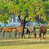 Horses at Plum Orchard on Cumberland Island Georgia 05-03-10