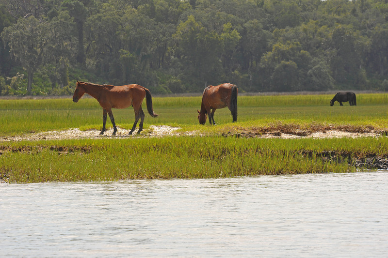 Wild (Feral) Horses on Cumberland Island, Georgia south of Terrapin Point 06-17-11