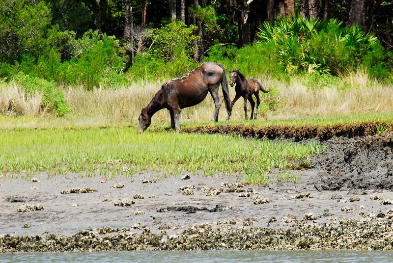 Wild Horses on the Brickhill River at Cumberland Island, Georgia