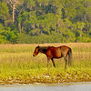 Wild (Feral) Horses on Cumberland Island, Georgia south of Terrapin Point 05-10-11