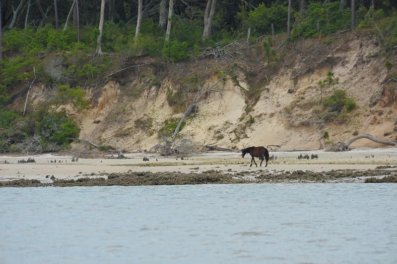 Wild (Feral) Horses on Cumberland Island at Cumberland Wharf in Georgia 04-02-11