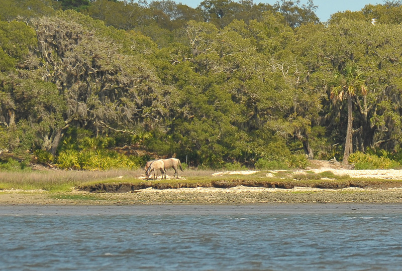 Wild (Feral) Horses on Cumberland Island Southend in Georgia 04-02-11