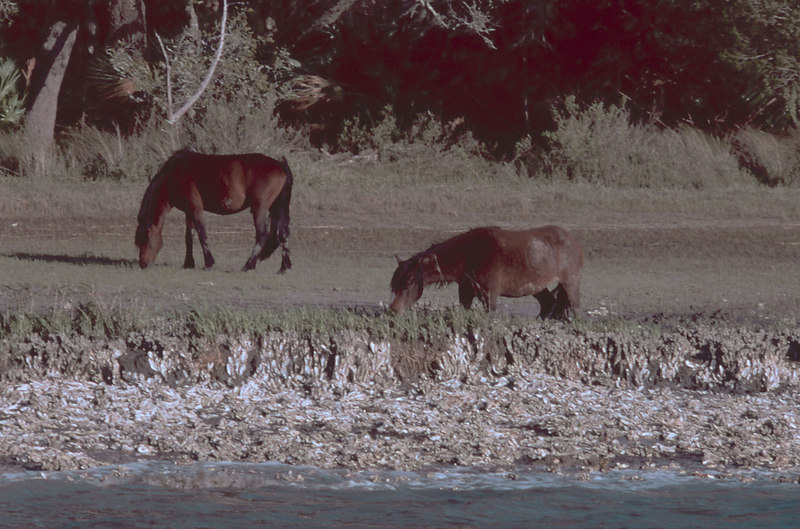 Wild Horses on the Brickhill River at Cumberland Island, Georgia