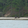 Wild (Feral) Horses on Cumberland Island at Cumberland Wharf in Georgia 04-02-11