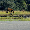 Wild Horses on Cumberland Island as seen from the Cumberland River along the Intracoastal Waterway (ICW) in Georgia