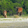 Wild Horses on Cumberland Island as seen from the Cumberland River ICW in Georgia