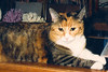 KATRINA<br /> After I moved out of Lyn's house, I got an apartment of my own at The Corners on Northwest Highway. When my wife called one day and told me that if I wanted my cat, Katrina, back she would bring her to me, otherwise, she was going to get rid of her (I'd left her in Karen's charge when we divorced), I told her to bring her on. I got this beautiful and loving feline during the first separation Karen and I went through, and she was my best buddy. Once the apartment management found out I had a pet, though, they told me I'd have to get rid of her. I offered to pay a pet deposit, but they then told me they didn't allow pets at all and that she would have to go. I scrambled around and found an apartment at Timbercreek Apartments on the other side of Northwest Highway, and that was that. Nobody was going to make me give up my cat again.