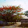 DWS GWS 2 Kasunga Road Flame Tree 1960s