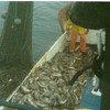 25_000_lbsBlack_Snappers_Columbia_River