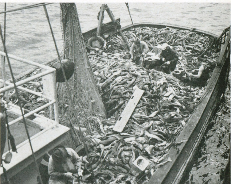 Trask,Astoria 1948,60,000 lbs Sharks,Al Mather,4 Ton Of Livers for 7,000$,