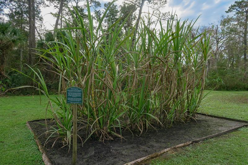 Florida Sugarcane