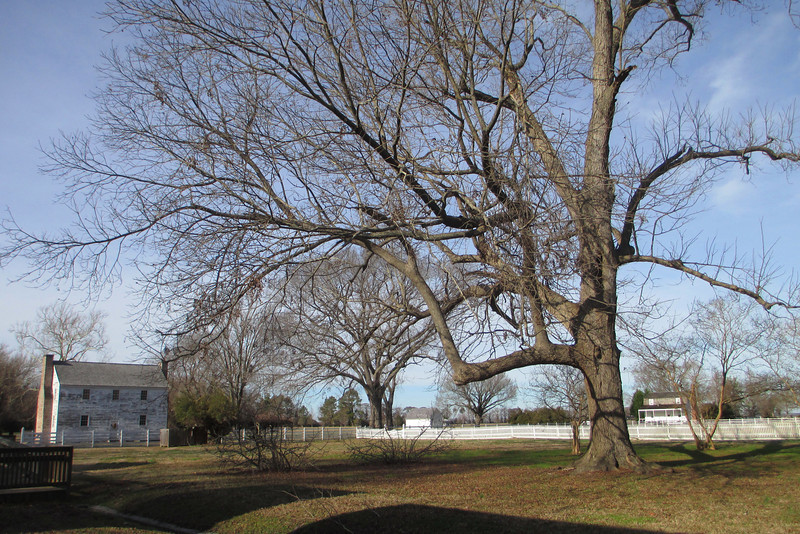 Yet another huge old tree which may very likely date back to the days of the plantation spreads its arms above the Hospital and Overseers House in the distance.  The large open lawn here and beyond the tree was originally the site of a large garden and orchard area...